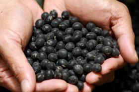 厳選された国産丹波種大粒黒豆