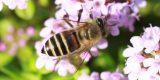 ミツバチとタイムの花