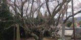 小豆島霊場8番札所・常光寺の桜模様